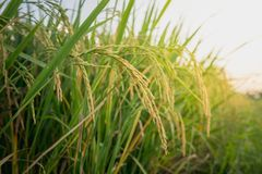 Close up ear of rice in rice fields Stock Photography