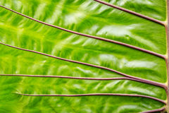 Close-up green elephant ear leaf detail Stock Photos