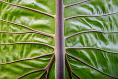 Close-up green elephant ear leaf detail Royalty Free Stock Photography