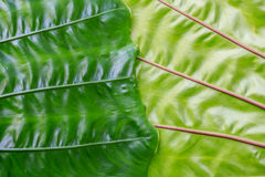 Close-up green elephant ear leaf detail Stock Image