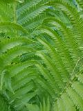 Close Up of Green Fern Fronds Growing in Woods Royalty Free Stock Photography