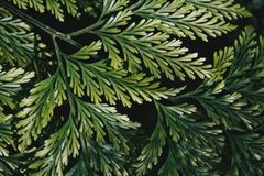 Close up of fern leaves. Close up of green fern leaves on a dark background Stock Image