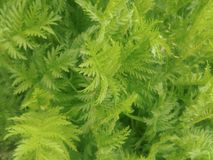 Close up of green fern plant background Royalty Free Stock Photography