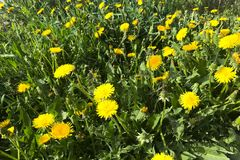 Close up of a green field with yellow dandelions stock photo