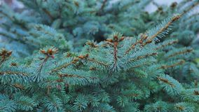 Close-up of green fir branches, full frame.  stock video footage
