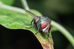 Close up of a green fly on a green leaf,Fly is carrier of diarrhea Stock Photos