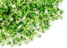 Close up of green fresh basil. Stock Images