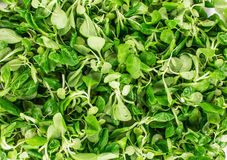 Close up of green fresh basil. Stock Image