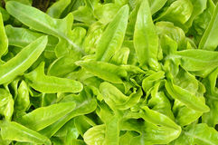 Close-up of green, fresh oakleaf lettuce. Stock Photography