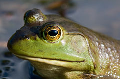 Close up of green frog Royalty Free Stock Images