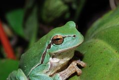 Close up green frog Royalty Free Stock Photos