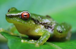 Close up of a green frog with a bright orange eye royalty free stock images