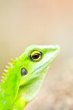 Close up green gecko Stock Photo