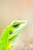Close up green gecko Stock Photo