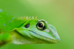 Close-up green gecko Stock Image