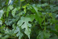 Close-up of green Ginnala maple tree leaves. royalty free stock photography