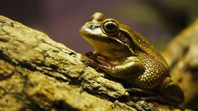 Green bell frog. Close up of a green and golden bell frog on a tree branch stock footage