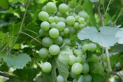 Close up of green grapes Stock Photo