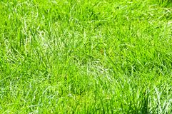 Close up of green grass. On summer day Stock Image