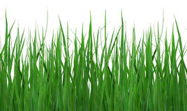 Close up of green grass. Low angle close up of green grass, isolated on white background Stock Image
