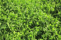 Close-up of green grass and clover. Royalty Free Stock Image