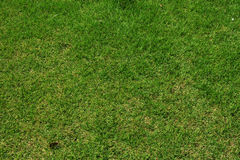 Close up green grass  in the field Royalty Free Stock Image