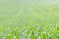 Close up Green grass field Stock Image