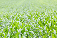 Close up Green grass field Royalty Free Stock Photography