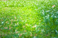 Close up green grass lawn background after cutting the grass with lawn mower. Selective Focus Royalty Free Stock Photography