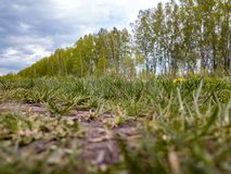 Close-up on green grass with a single yellow dandelion in the field and a wind-shelter tree under the blue sky with gray clouds royalty free stock image