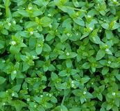 Close-up of green grass with small white flowers. royalty free stock photos