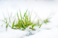 Close-up of green grass sprout through snow cover. Beginning of spring. End of Winter. Nature awakening concept.  stock images