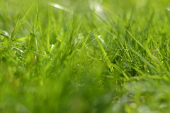 Close up of green grass Royalty Free Stock Image