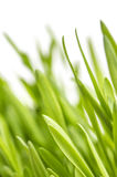 Close-up of green grass on white background. Macro Royalty Free Stock Photo