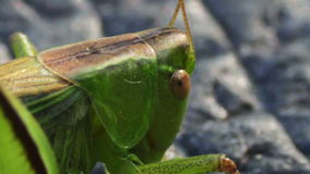 Close up of Green Grasshopper stock video footage