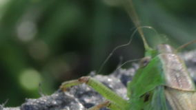 Close up of Green Grasshopper stock footage