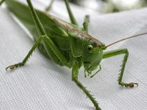 Close-up of a green grasshopper. Extrem closeup of a green grasshopper on white mesh. Grasshoppers are typically ground-dwelling insects with powerful hind legs Stock Photo