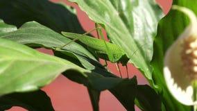 Close up on a green grasshopper 4 K stock video