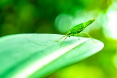 Close up of Green Grasshopper perching on green leaf.  Stock Image