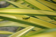 Close up of a green grasshopper on a yellow and green succulent plant leaf. In a garden in southeast Asia stock images