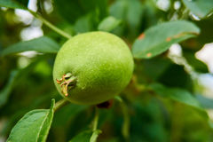 Close up from a green growing apple. With leaves in the background stock illustration