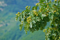 Hawthorn. The close-up of green hawthorn fruits on branch Royalty Free Stock Photo