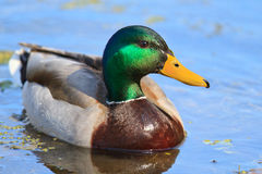 Close-up of green head drake mallard Stock Image