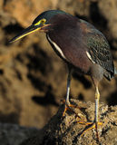 Close up of Green Heron Stock Images