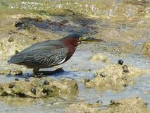 Close-up on a green heron in Guadeloupe. Stock Photo