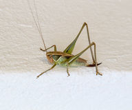 Close up of a green Hopper. On white wall royalty free stock images