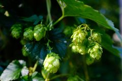 Beautiful green hops with blurred background stock photography