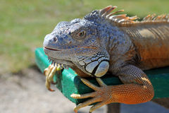 Close-up of Green Iguana Royalty Free Stock Photo