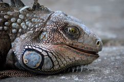Close up of a Green Iguana face. The green iguana, also known as the American iguana, is a large, arboreal, mostly herbivorous species of lizard of the genus royalty free stock images
