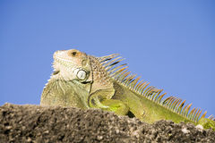 Close up of green Iguana Stock Photography